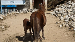 Mare and her foal, Namche Bazaar, Nepal: Most livestock roams free.