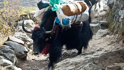 Yaks on the Trail: When you encounter yaks on the trail, you always give way, standing on the uphill side of the trail, just in case a yak attemps to bump you off the trail.
